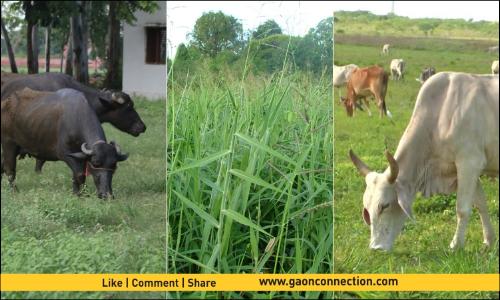 नमी व जलभराव वाले क्षेत्रों में भी कर सकते हैं इसकी बुवाई, पशुओं को मिलेगा पौष्टिक हरा चारा