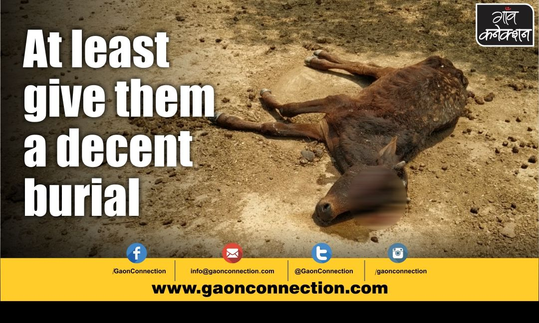 Who is responsible for carcasses of cows and buffaloes?