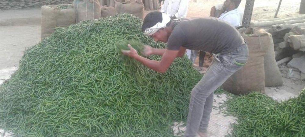 तीखी मिर्च किसानों के जीवन में ला रही मिठास