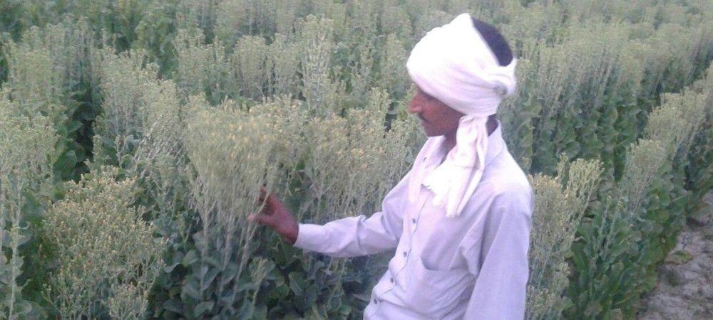 काहू की खेती से किसान कमा रहे मुनाफा