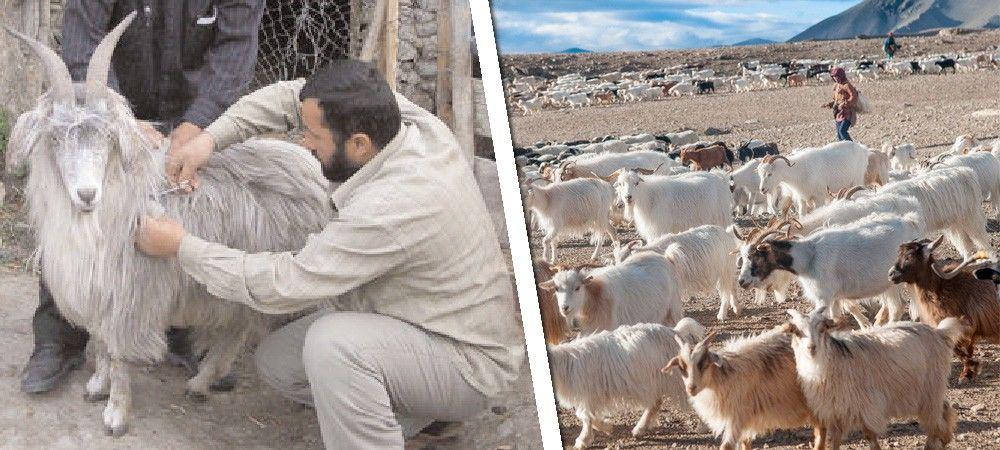करगिल की एक पहचान ये भी है, यहां की बकरियां बढ़ाएंगी देश का कपड़ा उद्योग